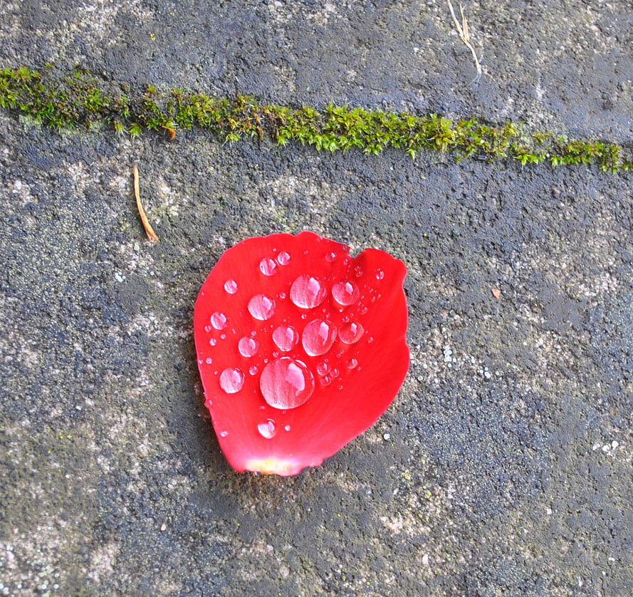 Fallen rose petal