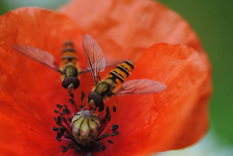 hoverfliespoppy